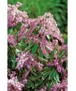 Passion Party™ Pink Frost Pieris