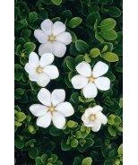 White Gem Gardenia
