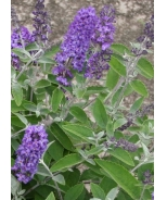 Flutterby Petite® Blue Heaven Butterfly Bush