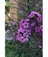 Purple Pride Geraldton Wax Flower