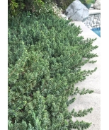 Blue Pacific Shore Juniper