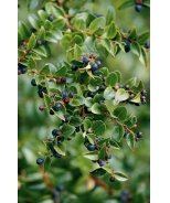Thunderbird Evergreen Huckleberry