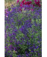 VIBE® Ignition Purple Salvia