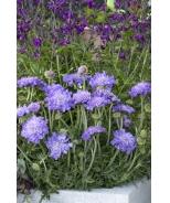 Giga™ Blue Pincushion Flower
