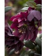 Winter Jewels® Red Sapphire Lenten Rose