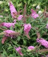 Pugster Pink® Dwarf Butterfly Bush
