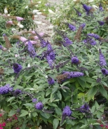 Pugster Blue® Dwarf Butterfly Bush