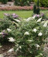 Pugster White® Dwarf Butterfly Bush