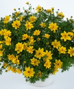 Sunshine Double Bidens
