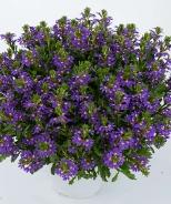 Purple Haze Fan Flower