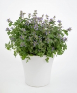 Aroma™ Violet Catmint