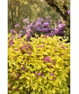 Golden Jackpot® Weigela