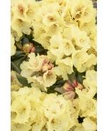 Miyama™ Gold Prinz Rhododendron