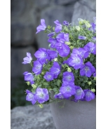 Rapido Blue Bellflower