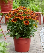 Summerina® Orange Echibeckia™