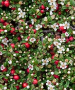 Canadian Creeper™ Cotoneaster