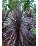 Burgundy Spire™ Dracaena Palm