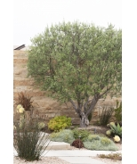 Majestic Beauty® Fruitless Olive