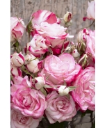 Grace N' Grit™ Pink BiColor Shrub Rose
