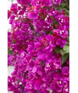 James Walker Bougainvillea