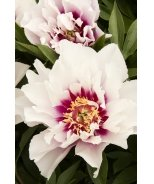 Cora Louise Itoh Peony