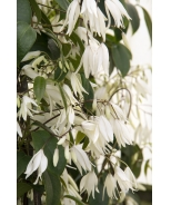 Heavenly Ascent® Holboellia Vine