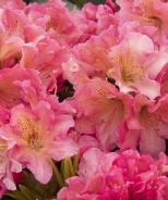 Miyama™ Dolcemente Rhododendron