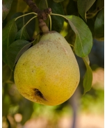 Two-Tier Combo Pear, Espalier