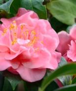 Pink Parade Camellia