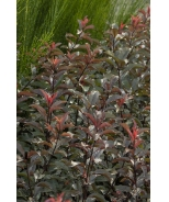 Darkstar® Purple Leaf Sand Cherry