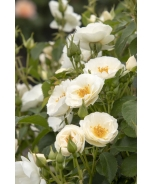 Nitty Gritty™ White Rose