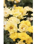 Nitty Gritty™ Yellow Rose