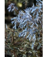 Hillier™ Porcelain Blue Corydalis