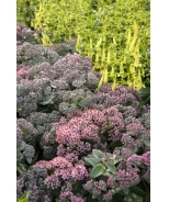Evolution™ Purple Crush Sedum