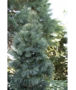 Silver Whispers™ Swiss Stone Pine