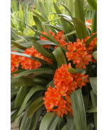 Belgian Hybrid Orange Clivia