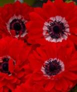 Harmony Double Scarlet Windflower