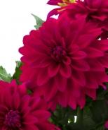 Labella® Maggiore Purple Dahlia