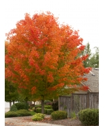October Glory® Red Maple