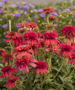 Double Scoop™ Raspberry Coneflower
