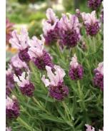 Boysenberry Ruffles Spanish Lavender