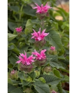 Bee-You™ Bee-Merry Bee Balm