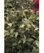 Ebbinge's Silverberry