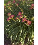 Little Business Dwarf Daylily