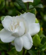 Swan Queen™ Gardenia