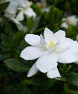 Swan Princess™ Gardenia