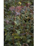 Burgundy Lace European Filbert