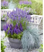 Blue Bouquetta Meadow Sage