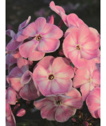 Younique™ Old Pink Garden Phlox