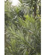 Shrubby Yew Podocarpus